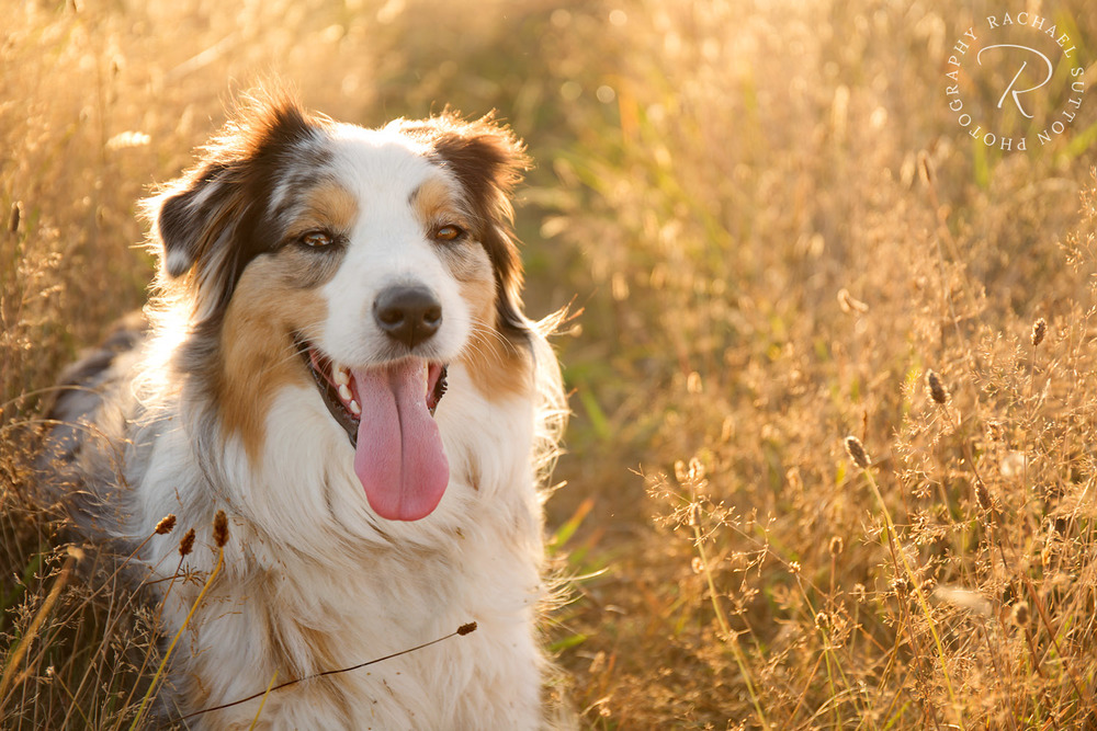 pet photo, Aussie Shepherd, sitting in long grass at sunset in Hobsonville Point, Auckland