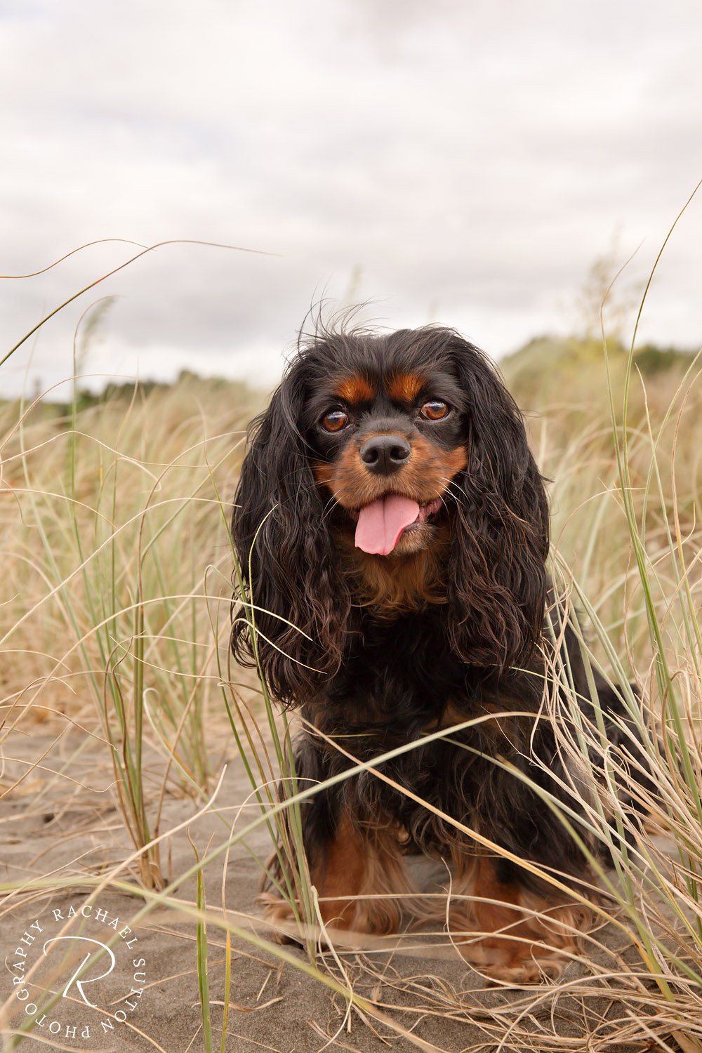 pet photo, Dog, sitting on sand dunes, Raglan Beach, Waikato