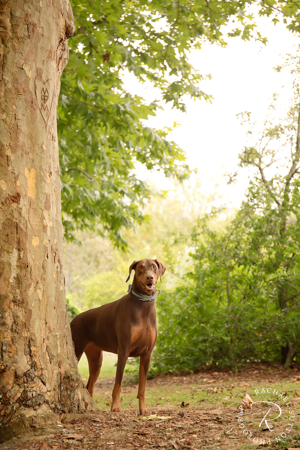 dog, photo, dog collar, Red Doberman, standing behind tree at Hamilton Arboretum.