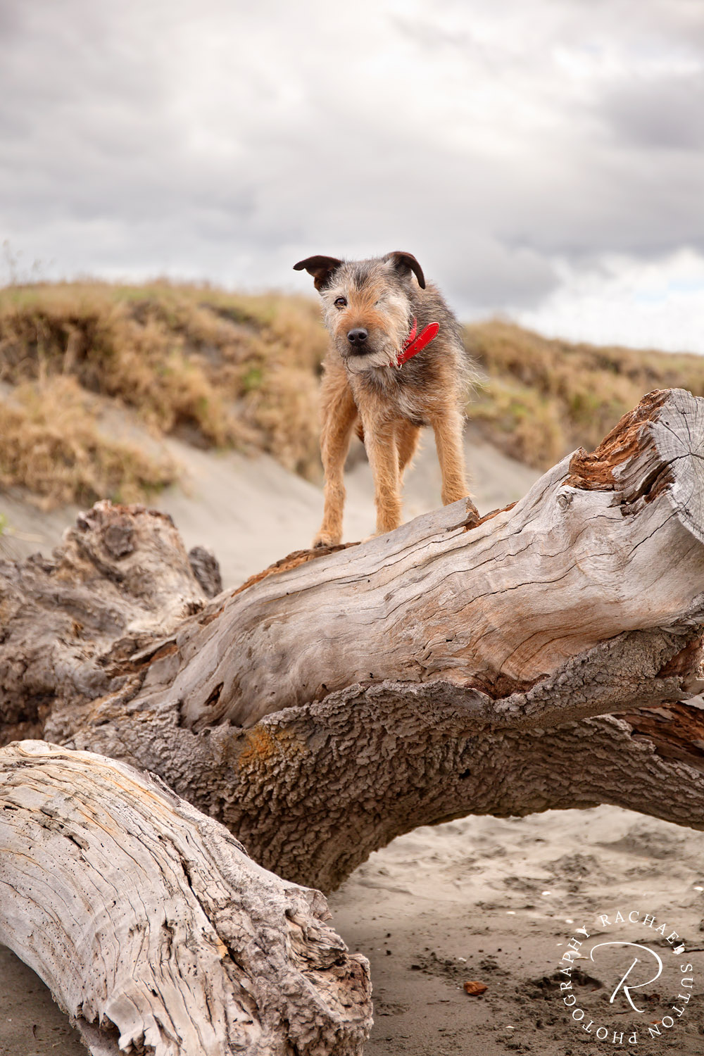 dog photo, One eyed dog, standing on tree log at the beach, Raglan