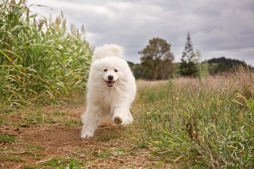 Dog photo, White fluffy Dog, running towards camera