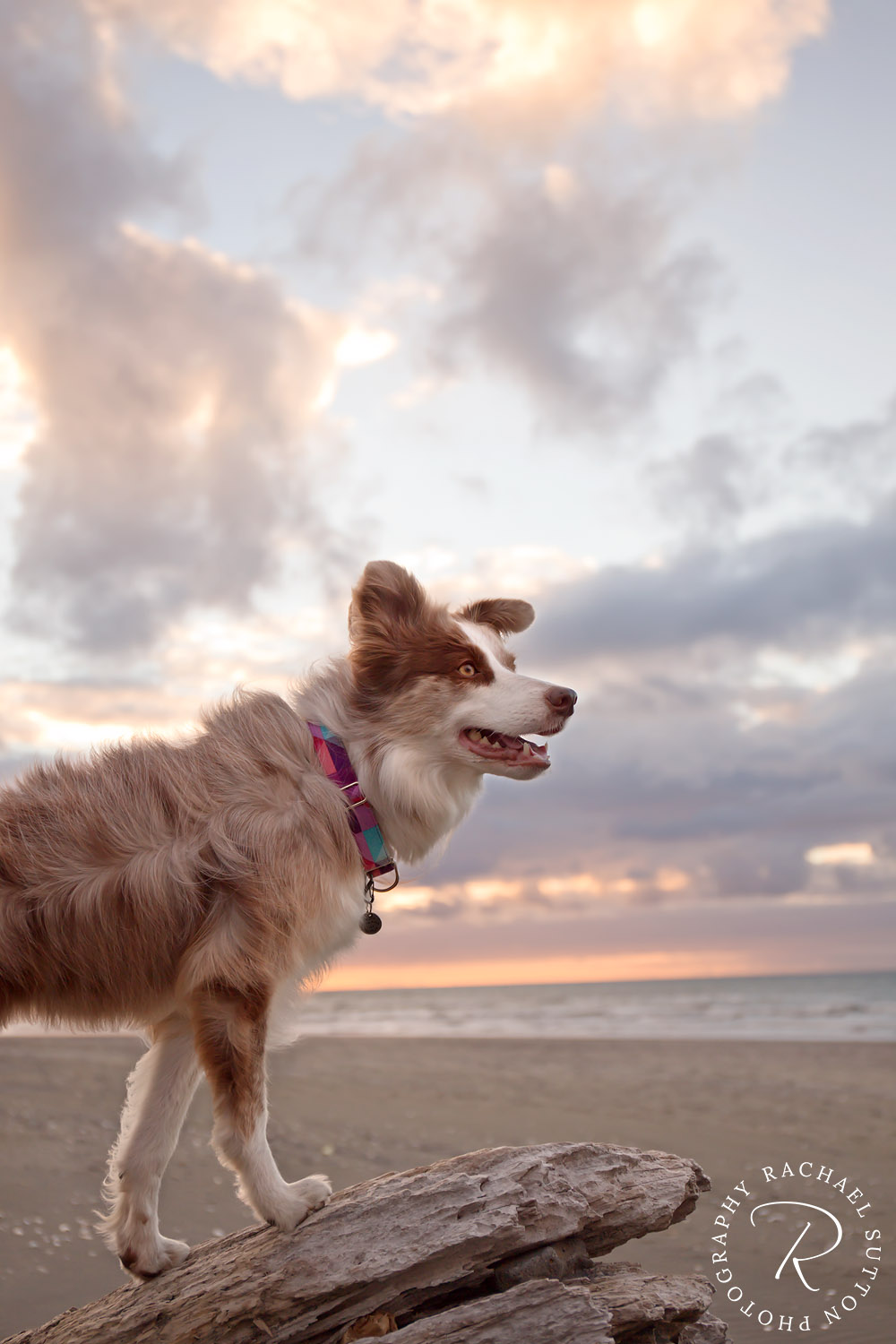 dog photo, Border Collie, Red Merle, sitting on tree log at sunset
