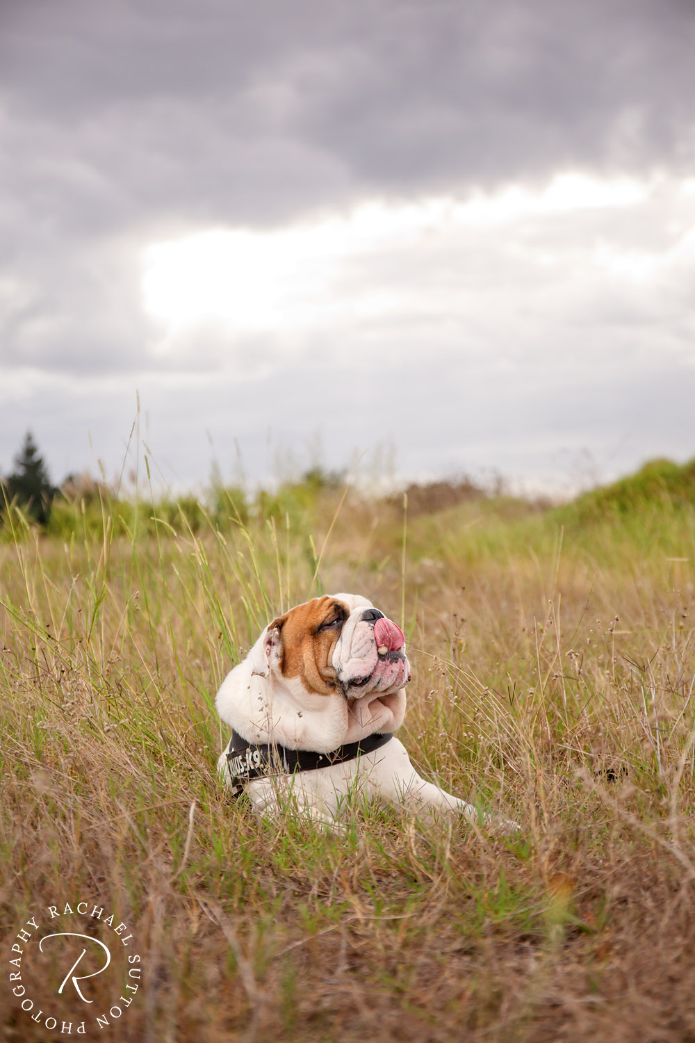 dog photo, Bulldog, dog sitting on grass at the beach
