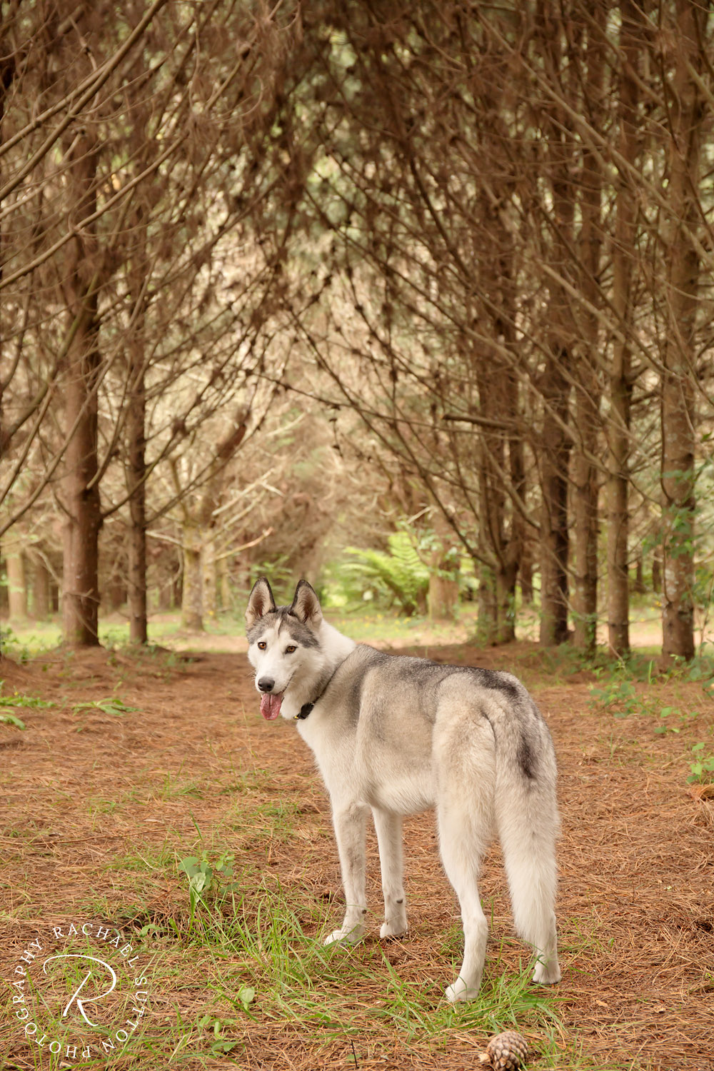 Dog photo, Husky, Siberian Husky, standing in the Rotorua Redwoods