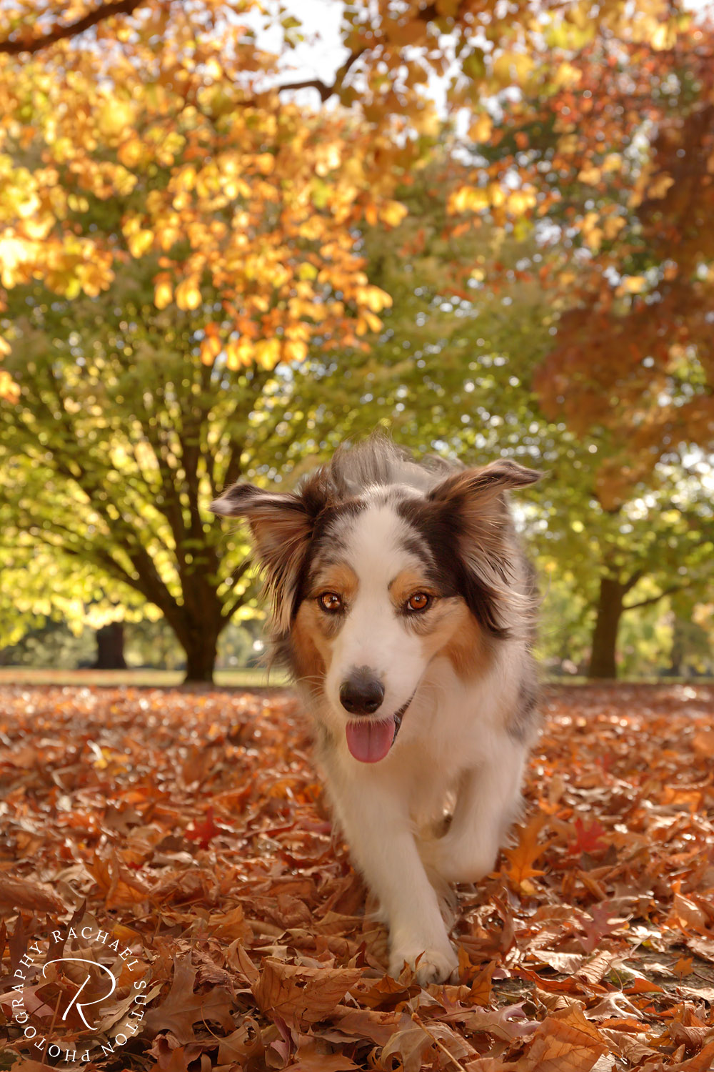 pet photography, Aussie, dog in Autumn leaves in Blenheim, New Zealand