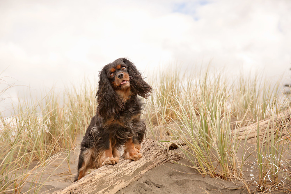 dog photo, Dog sitting on top of the sand dunes