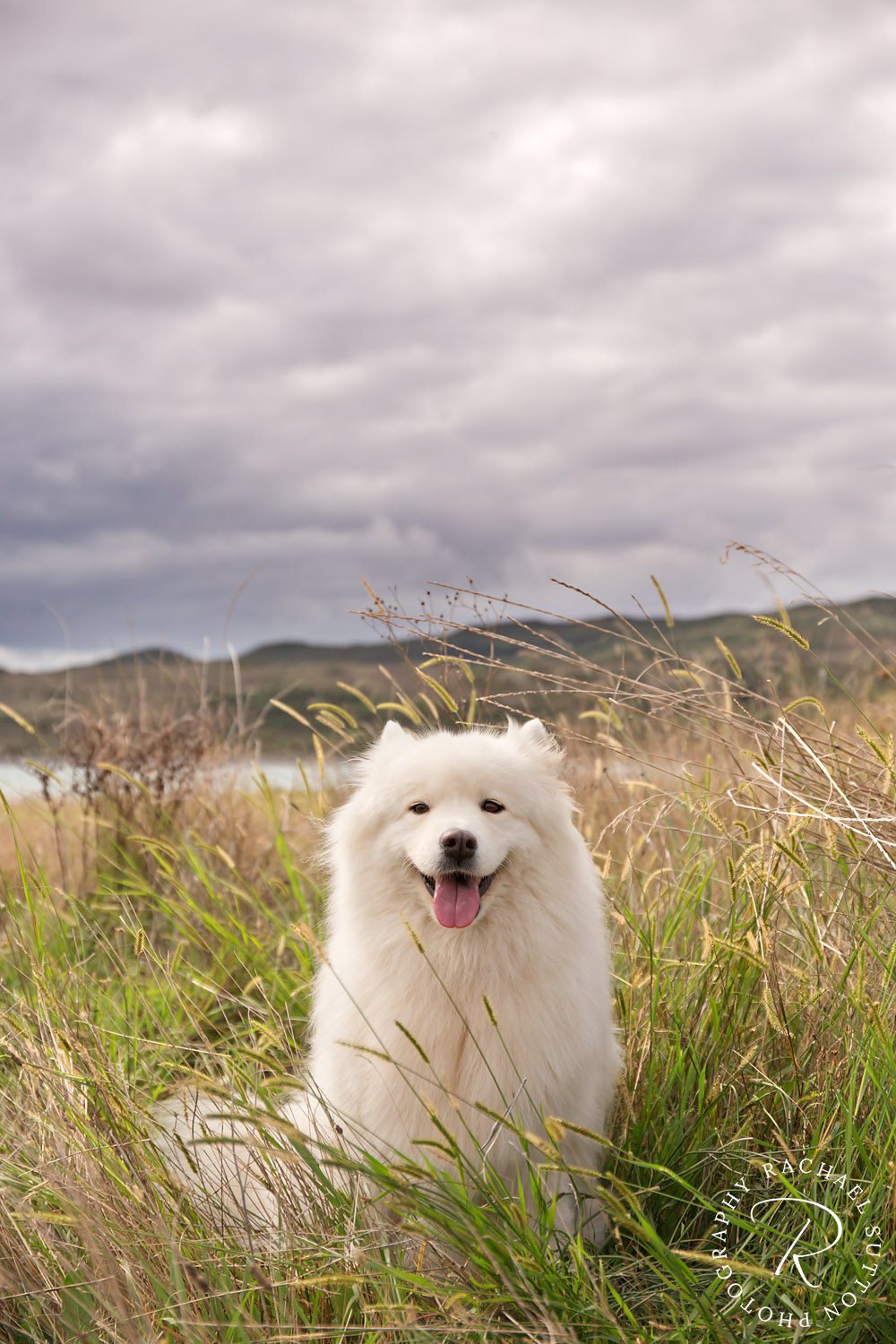animal photography, white fluffy dog sitting in grass with thunder clouds behind