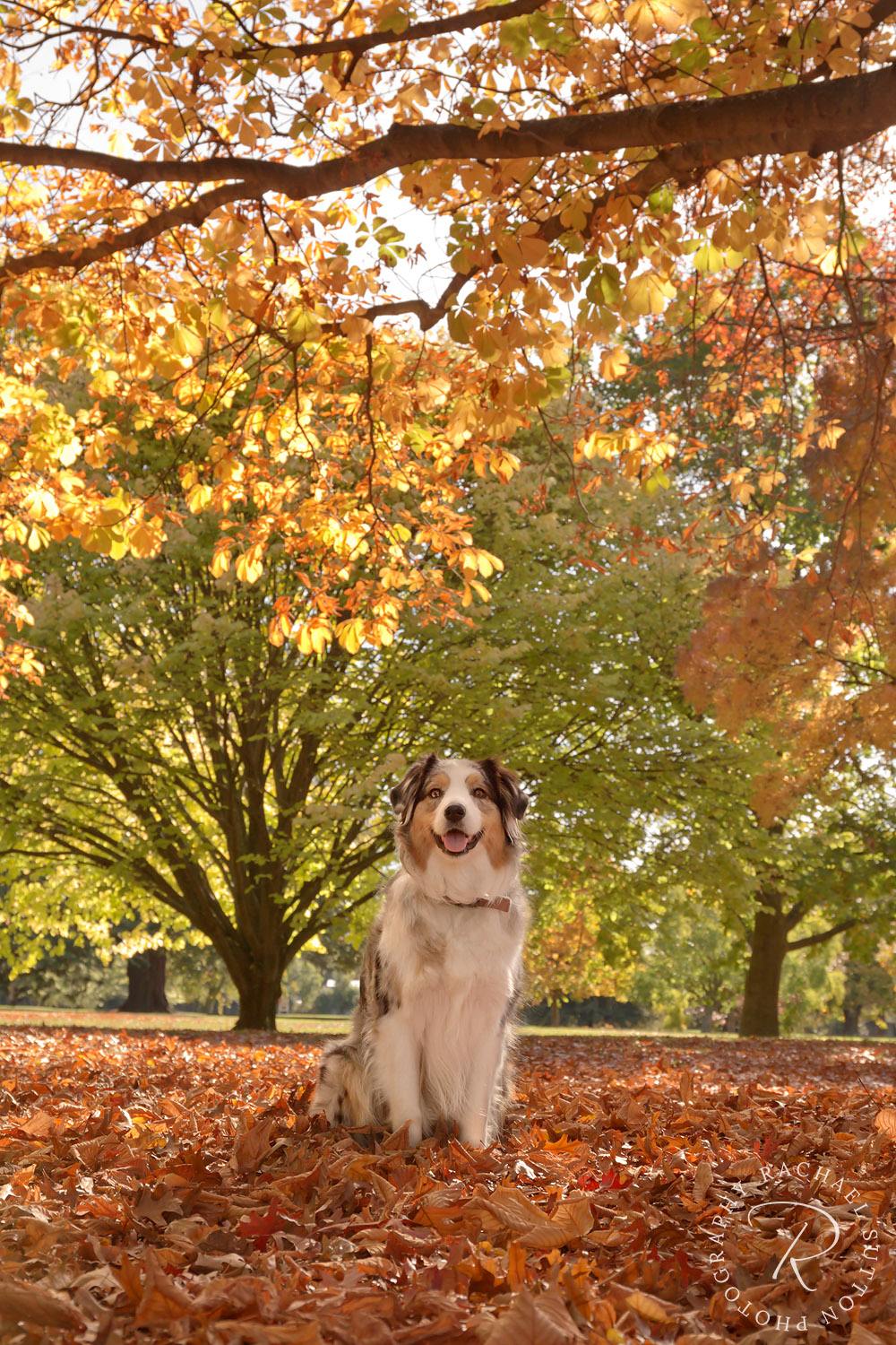animal photography, Autumn leaves, Australian Shepherd sitting pretty