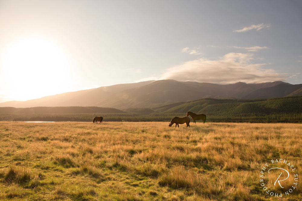 Horse photography, Horses in the sunset eating grass at Wairau River, Marlborough