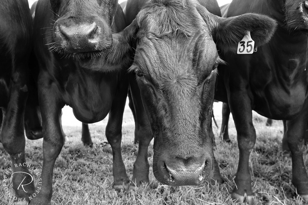 animal photography, cows in the paddock, black and white