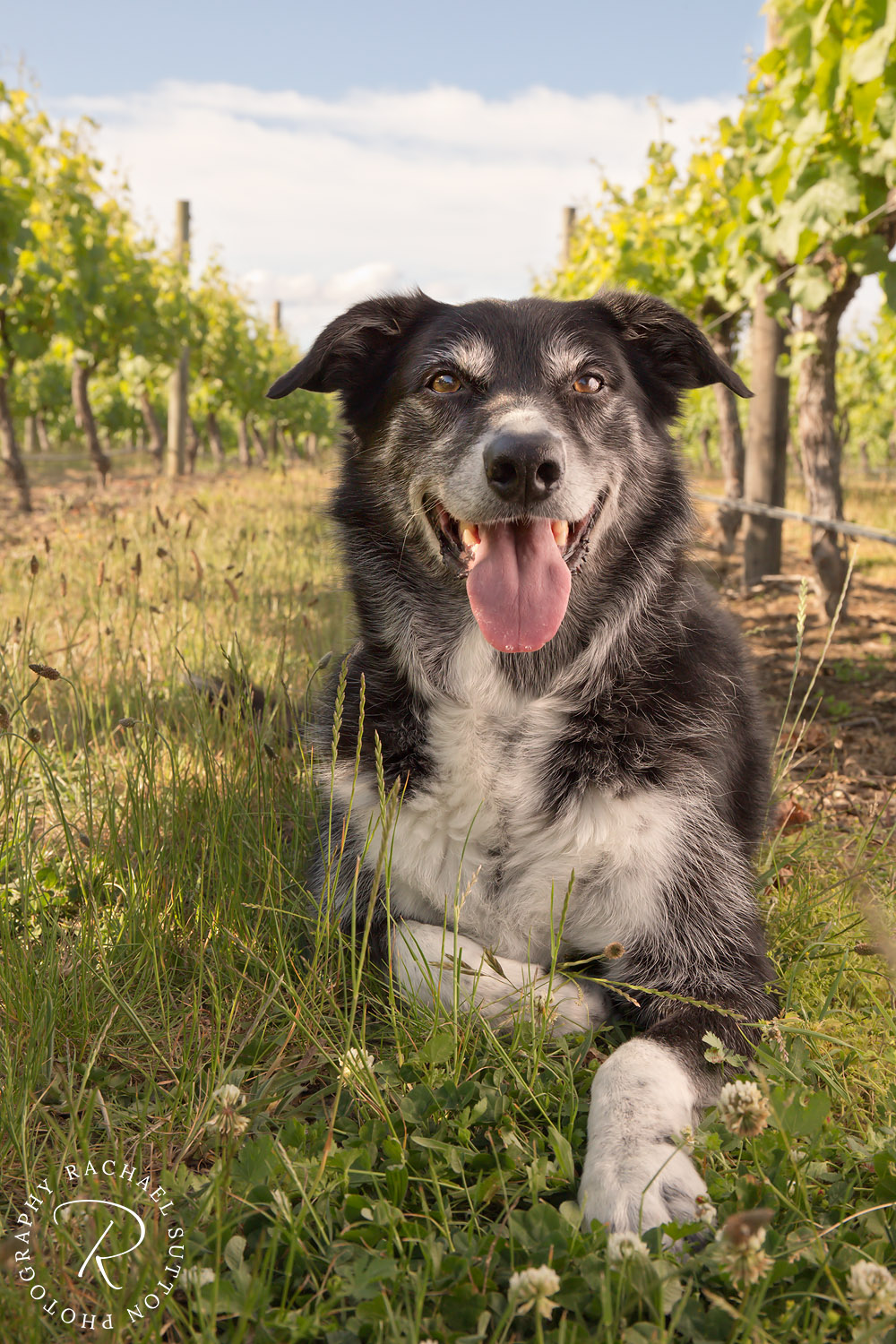 dog photo, dog in vineyard, dog photography