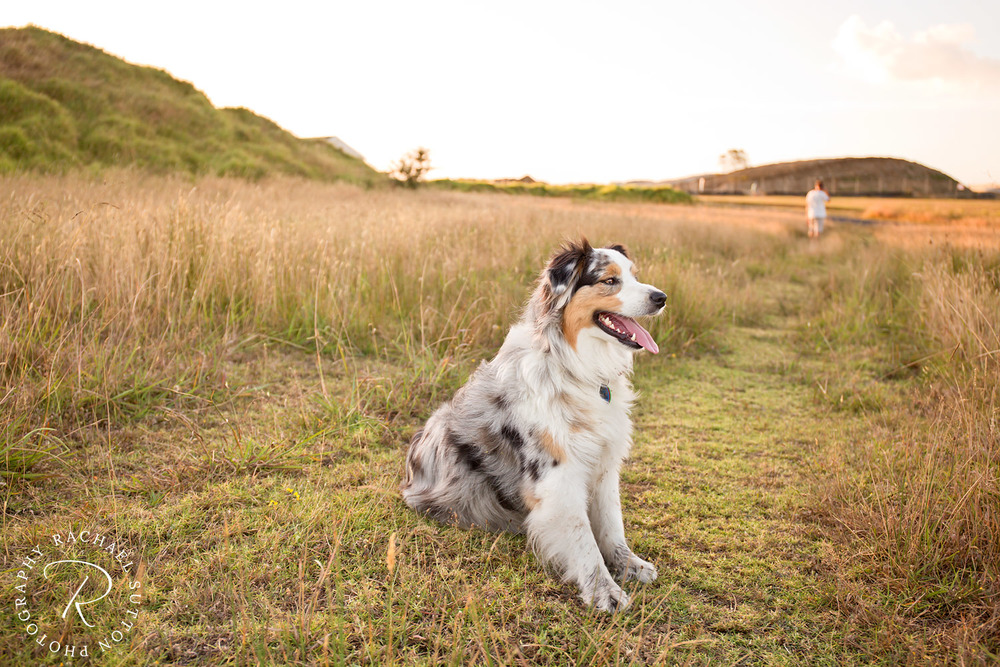 dog photo, dog waiting patiently in the field, dog photo