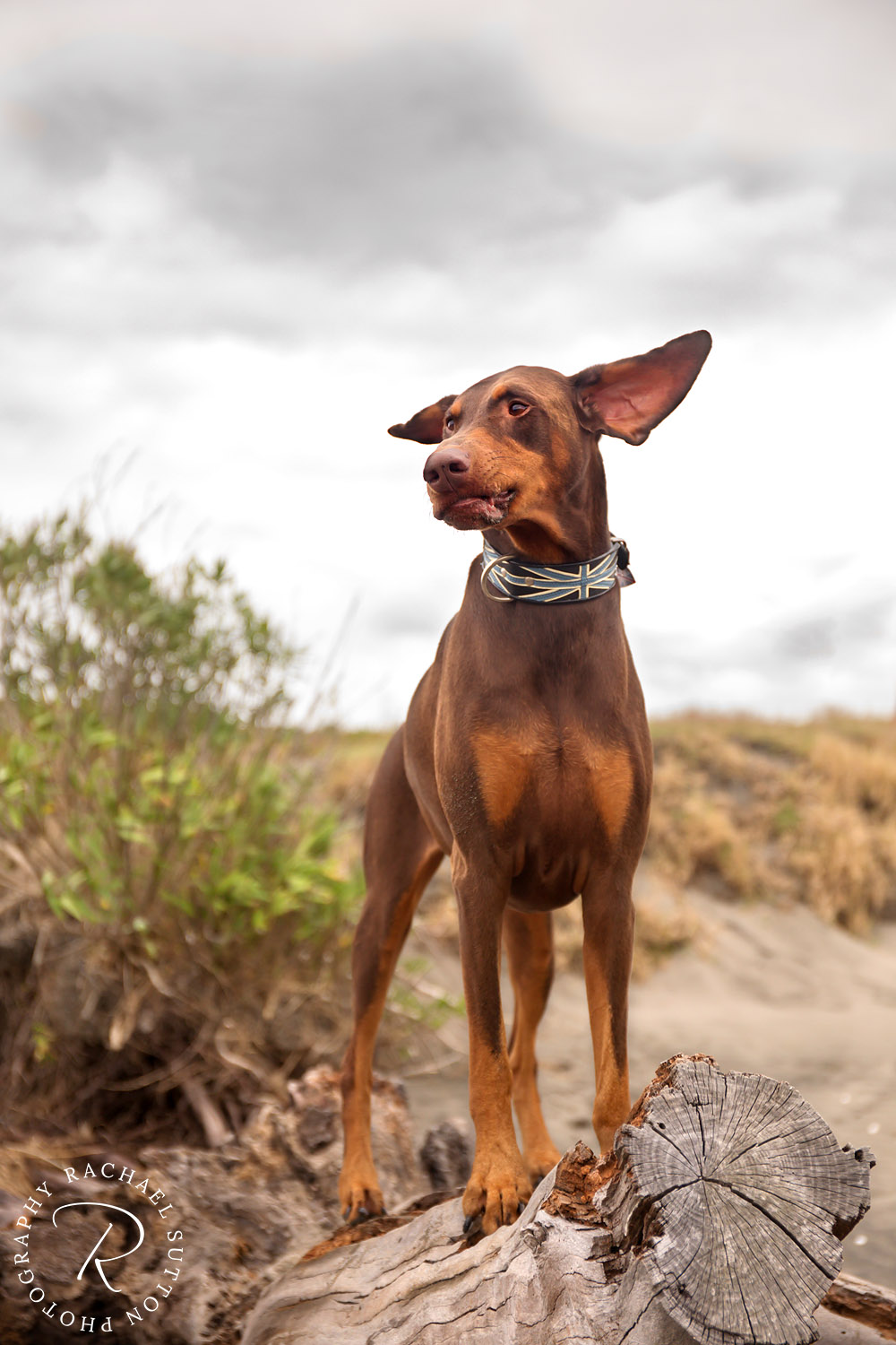dog with big ears, dog photography