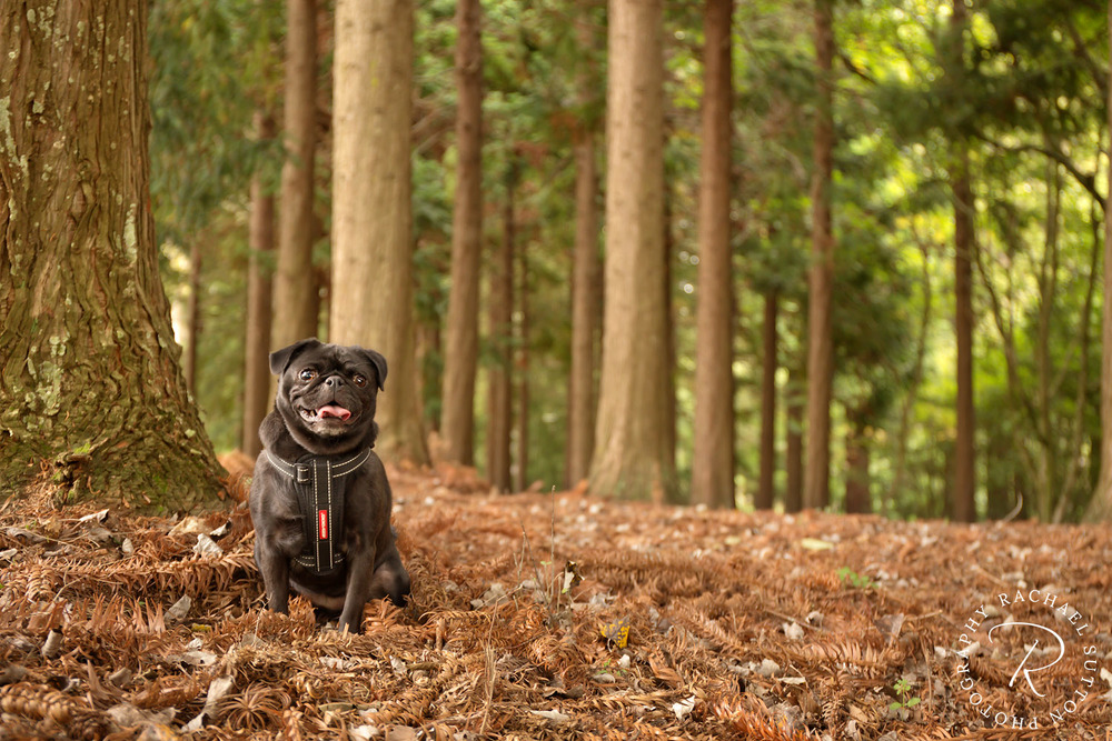 pug in forest, dog photo