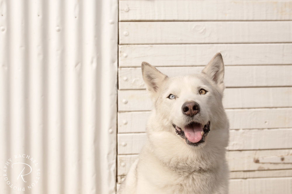 dog in front of shed, white on white, pet photography