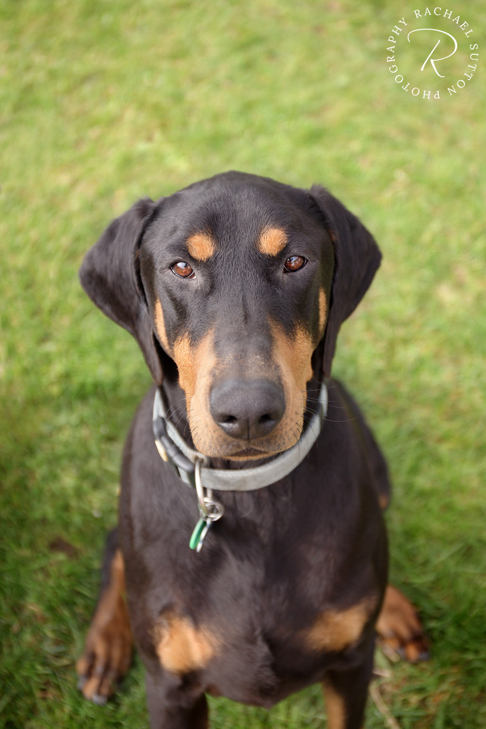 doberman black, dog eyes, dog photo