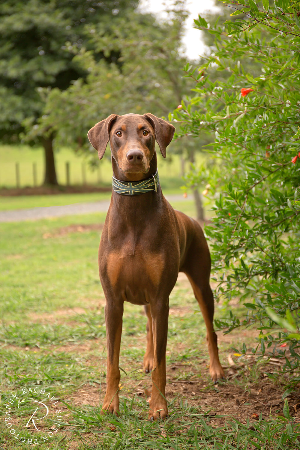 red doberman, pet photo, dog collar