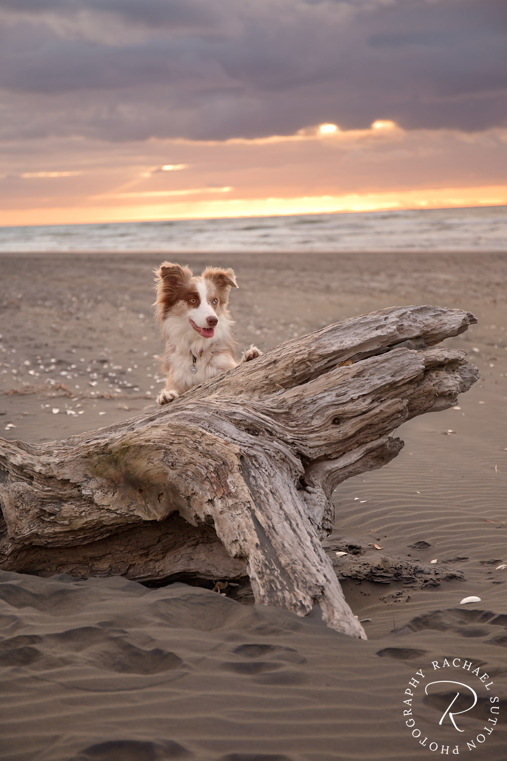 dog playing behind log on beach, sunset, pet photo