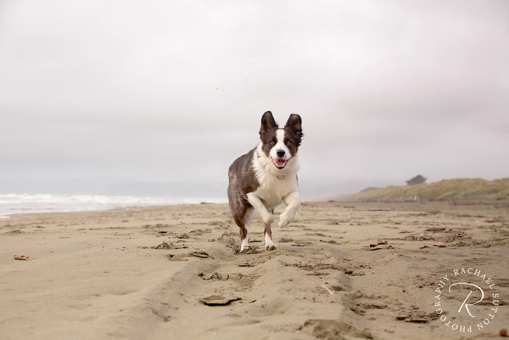 dog running on beach, pet photography