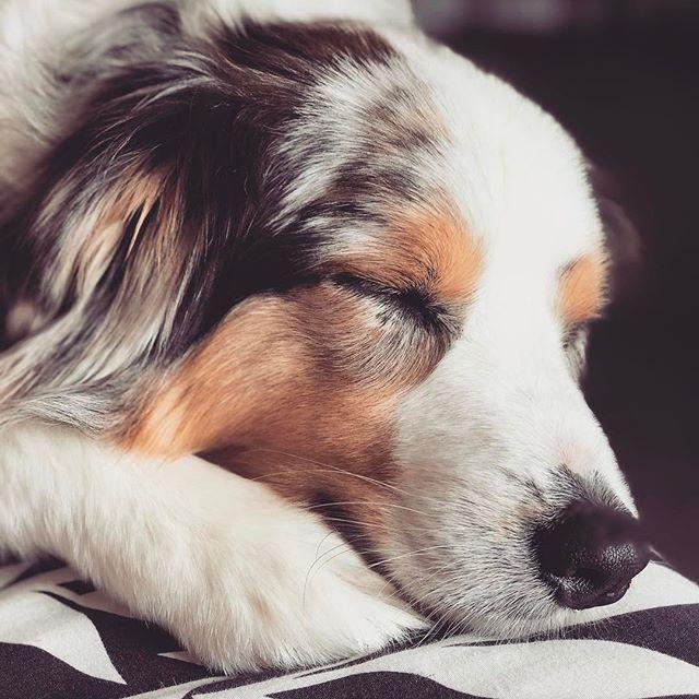 """The greatest thing you'll ever learn is just to love and be loved in return"". - Eden Ahbez 💛🐶 Every dog deserves a life like this...don't you think?? #lovehertobits #sweetdreams • • • • #allyouneedisloveandadog #nationalnappingday #lovethisdog #dogoftheday #dogsofinstagram  #dogscorner #instadog #dogsareagirlsbestfriend #dogmama #thecanineway #dog_features #marlborough #aussiesofinstagram #petlifenz #meandmydog #lifewithdogs #dogsarefamily #australianshepherd #petphoto #bluemerleaussie  #dogsofnz #nzdogs #happydog #whatsupdognz #happiestpups"