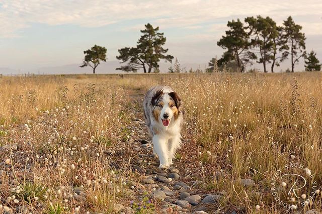 🌾💫🐶 my little shadow, never far away... 💛 #goexplore • • • • #dogsarefamily #dogfriendly #happydog #dogsonadventures #petlifenz #activedog #dogsofnz #whatsupdognz #adventureswithdogs #nz #dogumented #aussiesofinstagram #aussielove #onlymarlborough #brillianteveryday #dogsofinstagram #dogscorner #instadog #lifewithdogs #southisland #beautifulnz #australianshepherd #petphoto #bluemerleaussie  #nzdogs #thecanineway