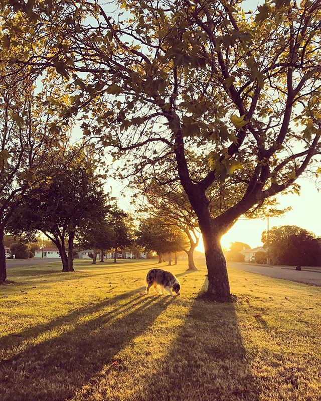We love exploring far and wide but sometimes we forget just how beautiful it is simply outside the front door and down the footpath... 🐶✨💛 #goexplore #sunlover • • • • #dogsarefamily #dogfriendly #happiestpups #happydog #dogsonadventures #petlifenz #activedog #dogsofnz #whatsupdognz #nzautumn #adventureswithdogs #nz #dogumented #aussiesofinstagram #aussielove #onlymarlborough #brillianteveryday #dogsofinstagram #dogscorner #instadog #lifewithdogs #southisland #beautifulnz #australianshepherd #petphoto #bluemerleaussie  #nzdogs #thecanineway