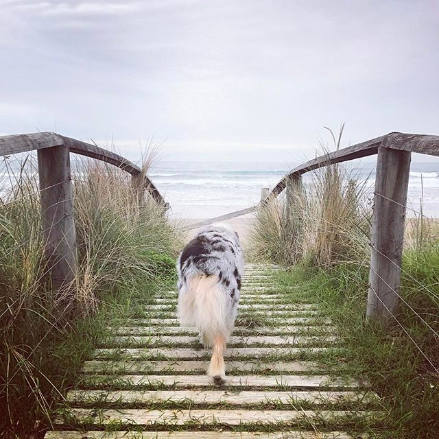 She was super keen to get onto the beach today 🐶🌊 I really don't blame her. After 10hrs of traveling yesterday and arriving after 2:30am 😳 (yes am!) Not all road trips are fun but she loves them all the same. 🚙⛴ #getmetohawkesbay #beachlover #waimarama • • • #dogsarefamily #dogfriendly #happydog #dogsonadventures #petlifenz #activedog #dogsofnz #whatsupdognz  #adventureswithdogs #nz #dogumented #aussiesofinstagram #aussielove #hawkesbay #dogsofinstagram #dogscorner #instadog #lifewithdogs #northisland #beautifulnz #australianshepherd #petphoto #bluemerleaussie  #nzdogs #thecanineway #nzbeaches #nationalpuppyday