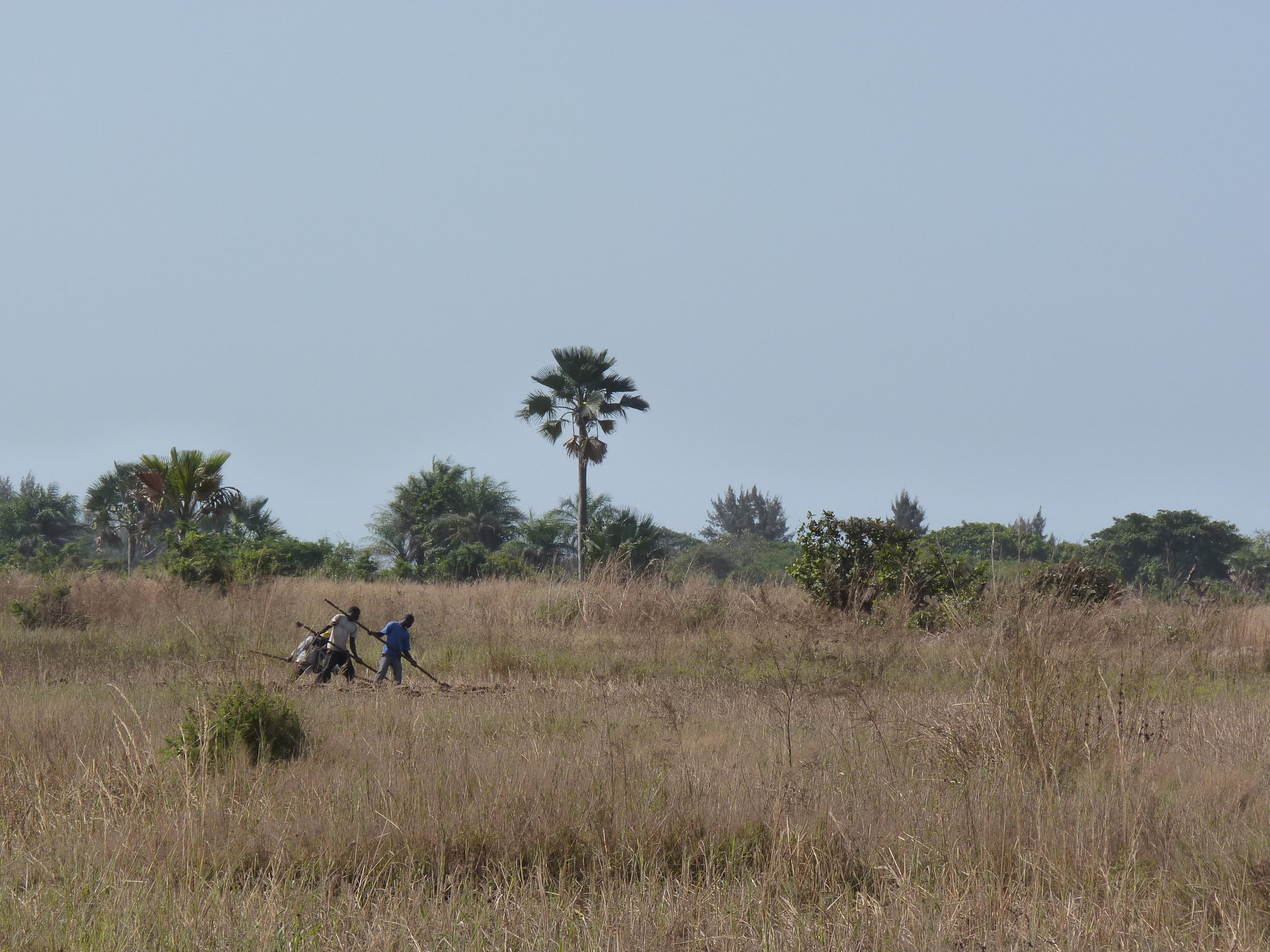 Farmers working the fields in the Casamance