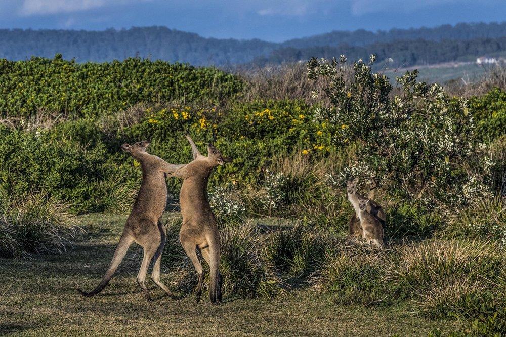 Kangaroos Moonee Beach Reserve.jpg
