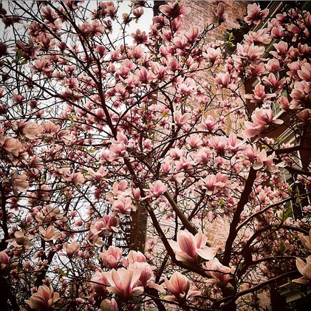 turn that cherry out #newyorkcity #cherryblossom #nature #eastvillage #flowers #spring #pink