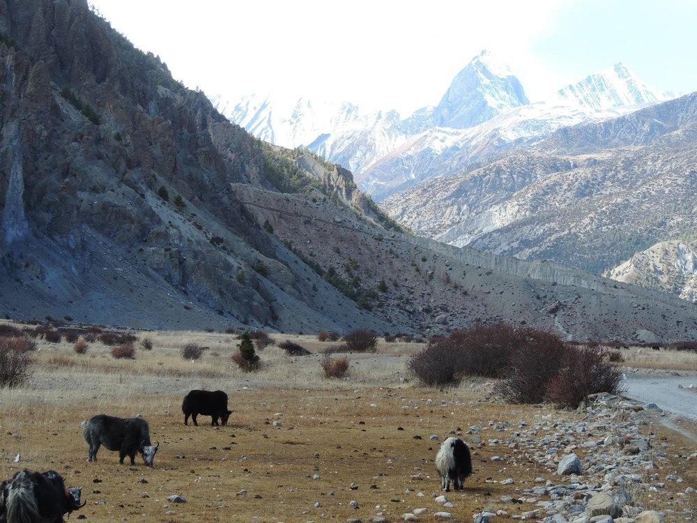 Yaks & Mountains