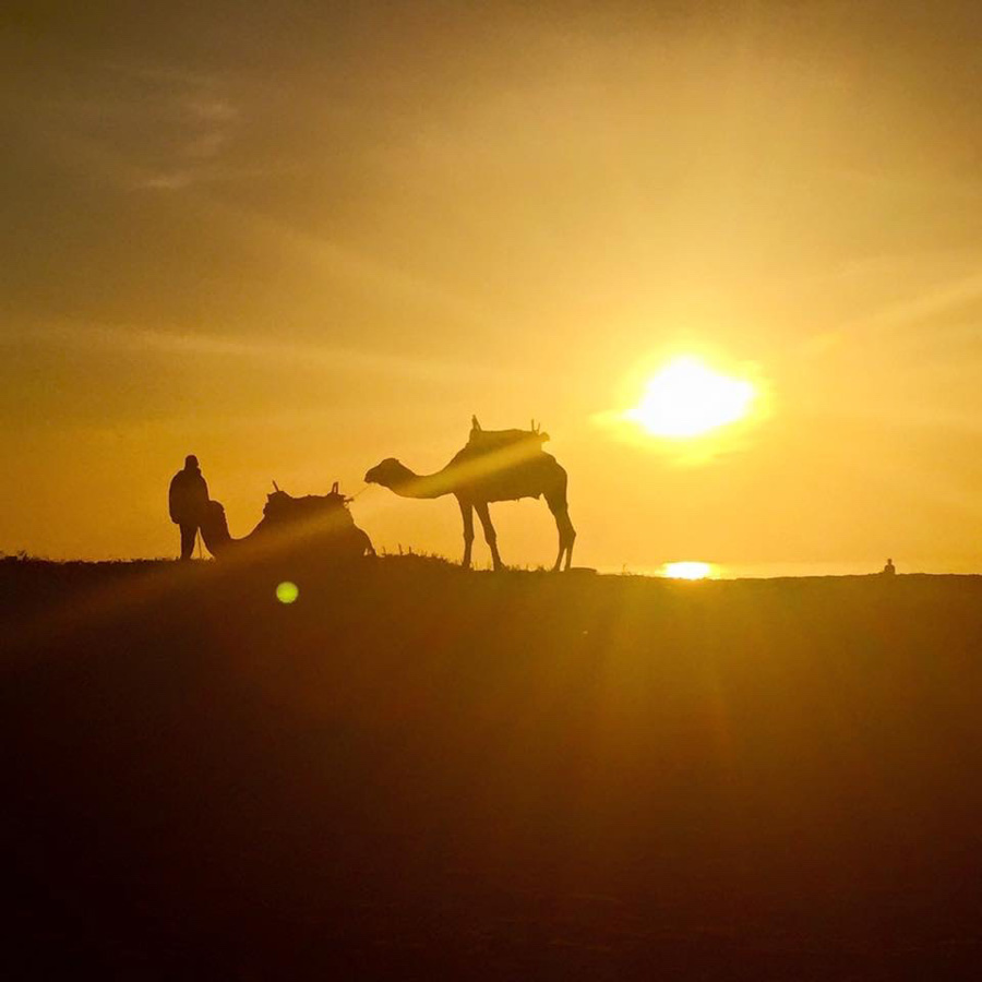 Camels and their rider at sunset in Essaouira on the dunes