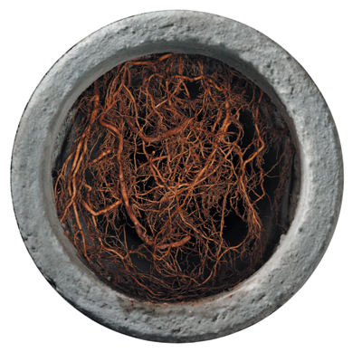 Tree Roots Penetrate Drains, Causing Drain Back Ups. Root X Kills Roots Safely