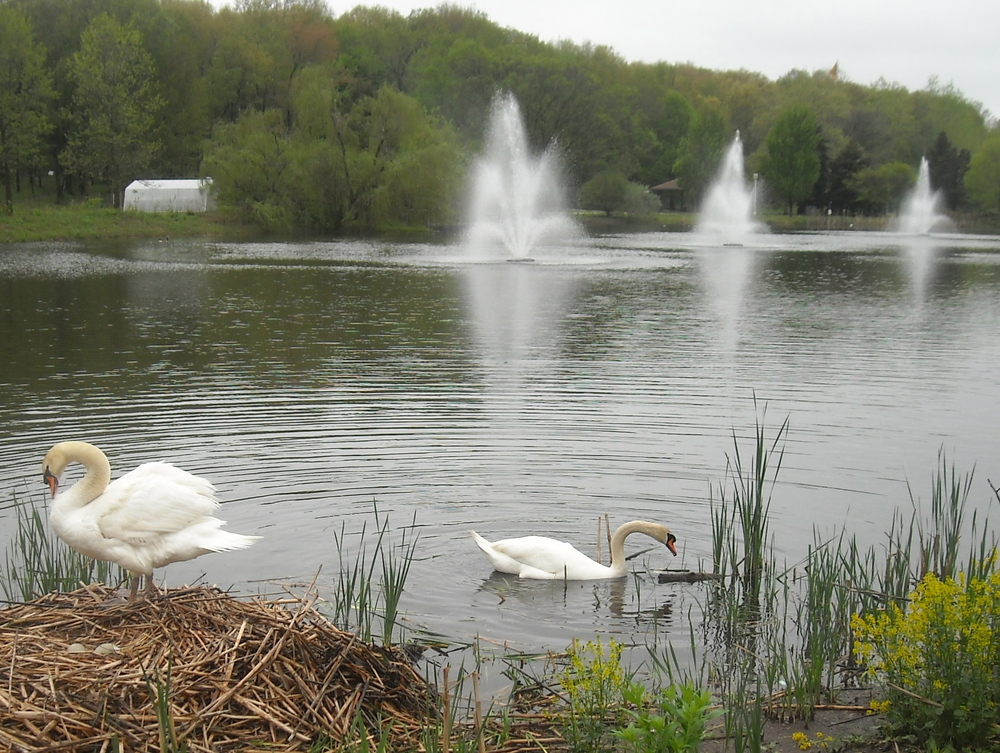 WHERE WERE THE SWANS??