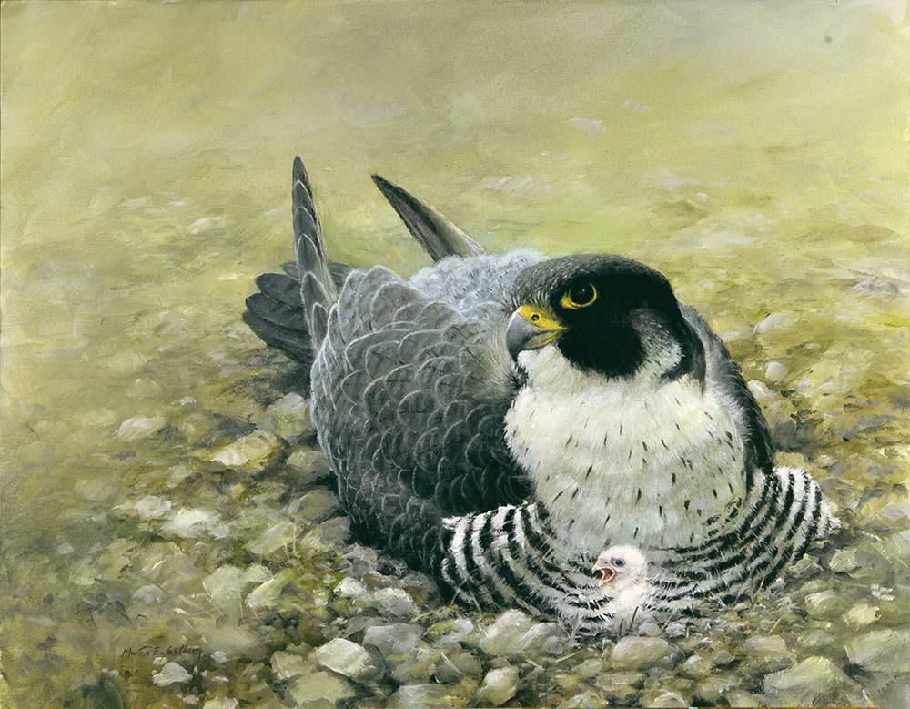 Peregrine Falcon 16x20 Acrylic
