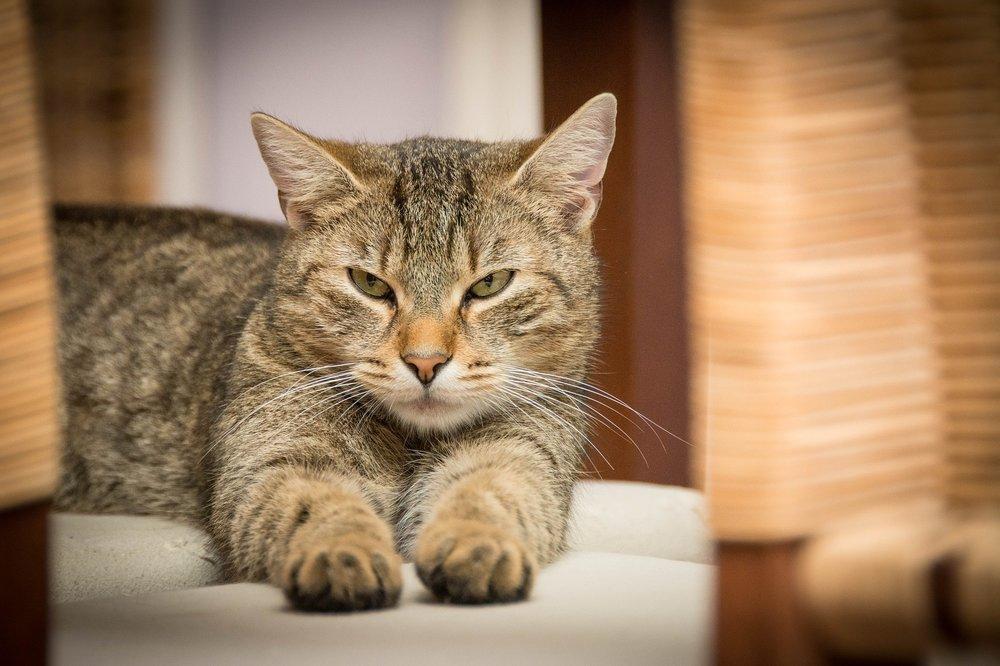 domestic-cat-726989_1920.jpg