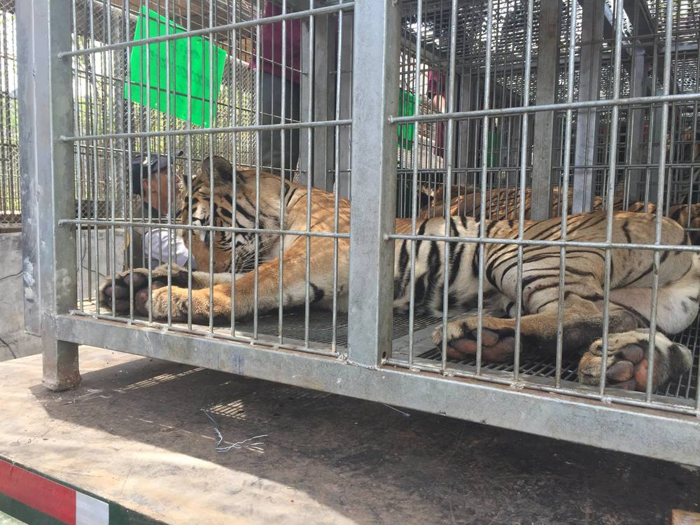 A sedated tiger beginning to wake up.