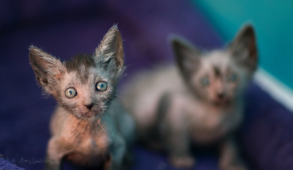 (Photo Credit: Lykoi Cats)