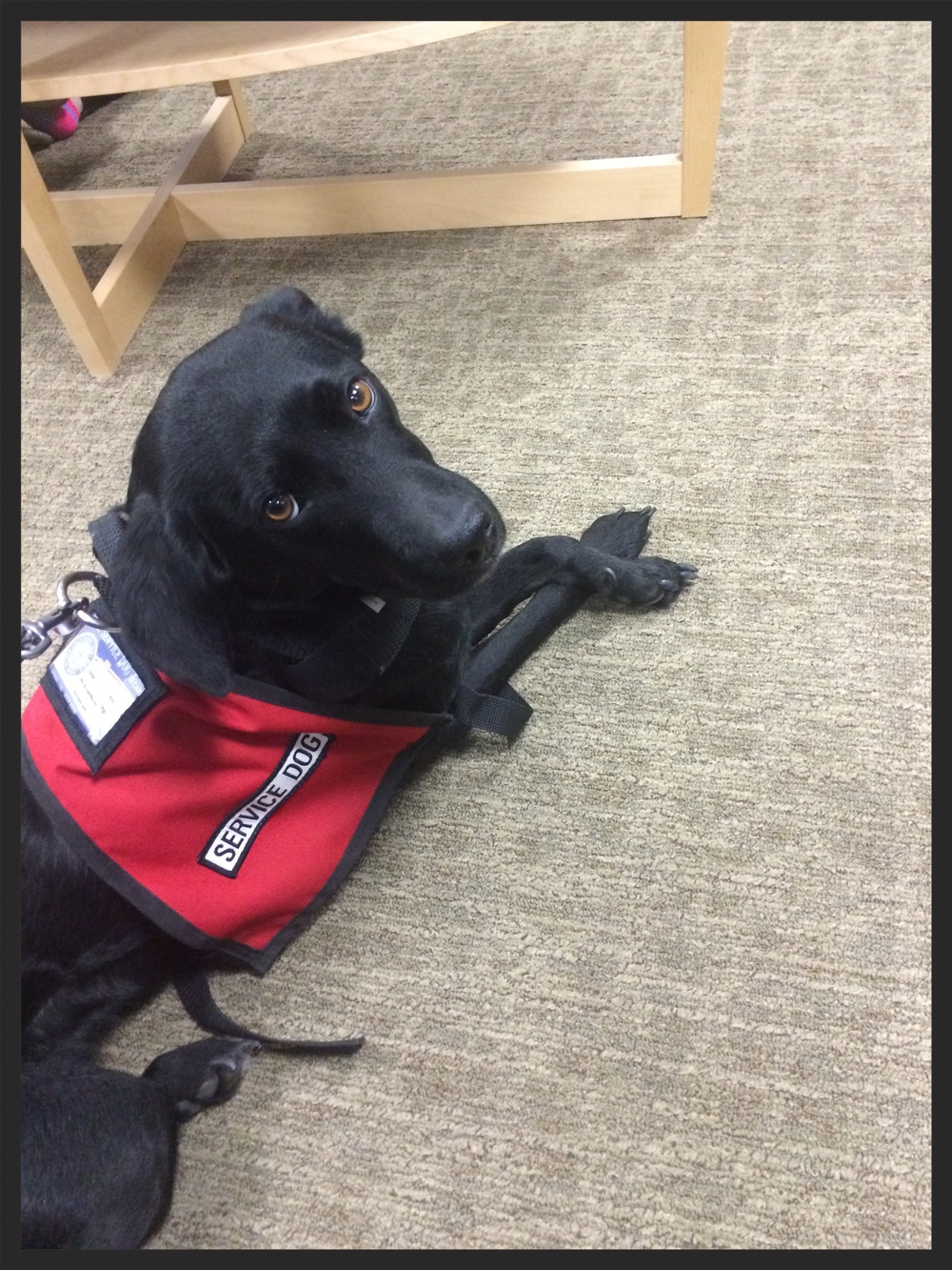 Sadie the service dog posing primly on the job. Submitted by Sammy431.