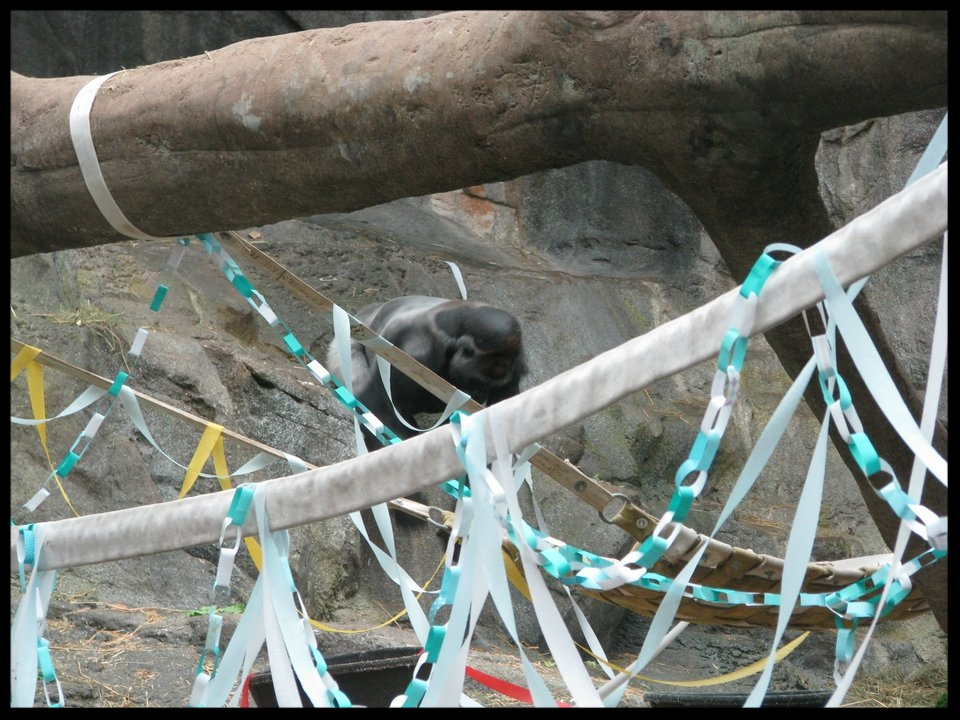 Streamers make up a large part of the birthday enrichment for Kiki, a Western Lowland Gorilla, at Franklin Park Zoo. Visually novel and fun to destroy, they encourage all sorts of investigative behavior.  (Photo Credit: S. McCann)