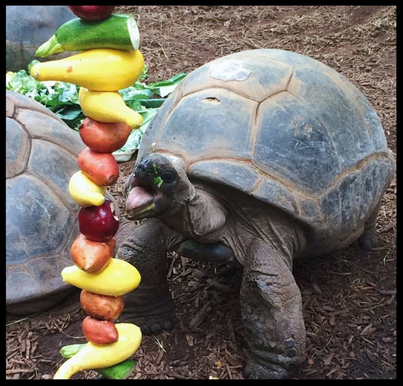 A hanging vegetable feeder for the Alhambra Tortoises at Zoo Atlanta encourages these sedate animals to be more active while eating.  (Photo Credit: T. Phillips)