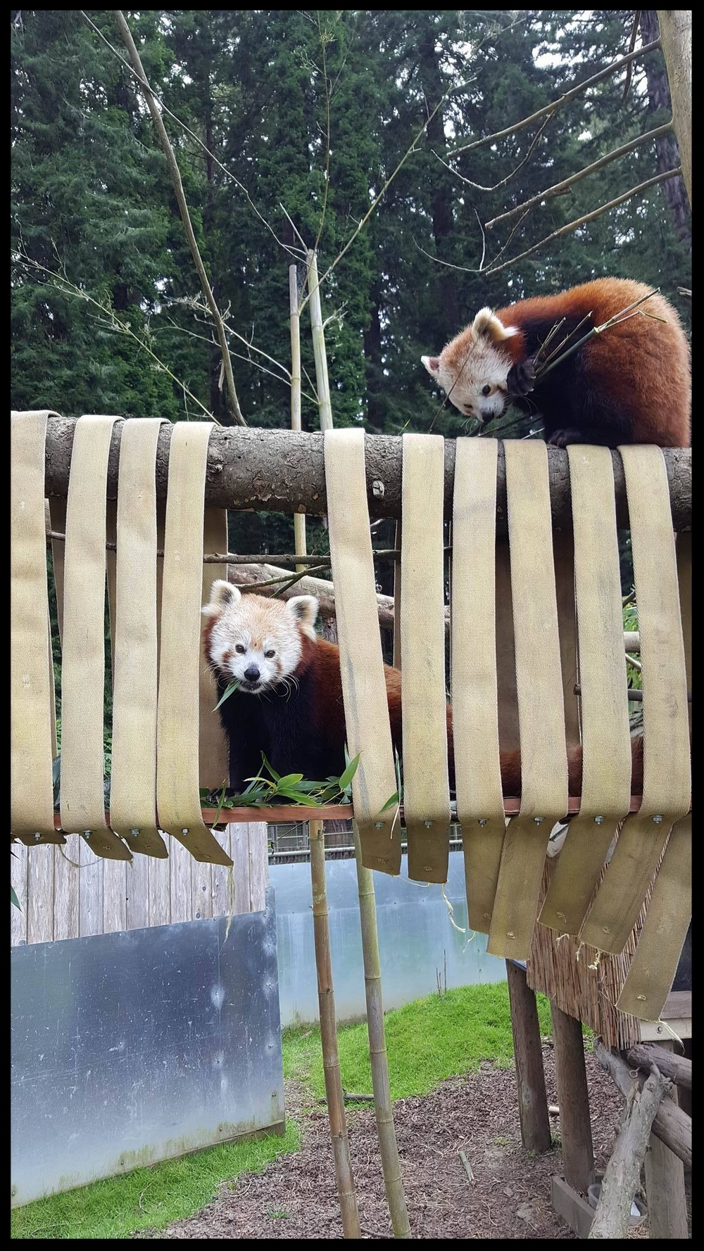 Red Pandas at the Sequoia Park Zoo nibble on browse placed throughout their fire hose climbing structure.  (Photo Credit: L. Miller)