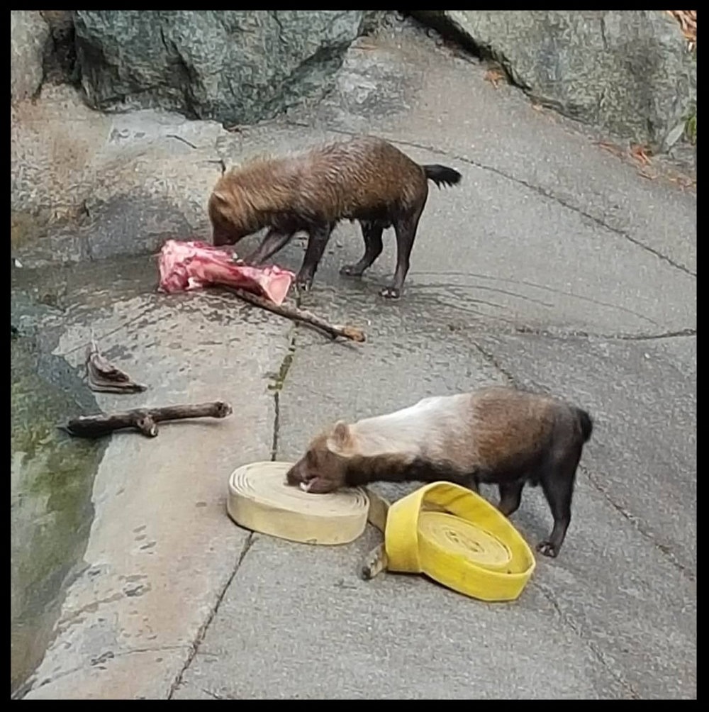Individual preferences are obvious when animals are presented with varied enrichment. At Sequoia Park Zoo, some Bush Dogs prefer raw bones - but others make a beeline for their favorite fire hose.  (Photo Credit: L. Miller)