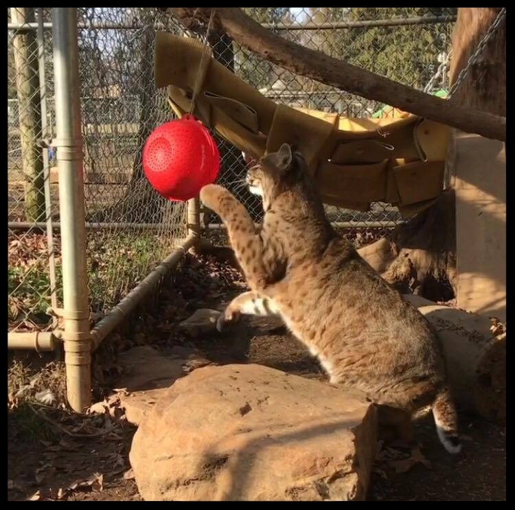 Dakota, a bobcat, investigates the colander feeder.