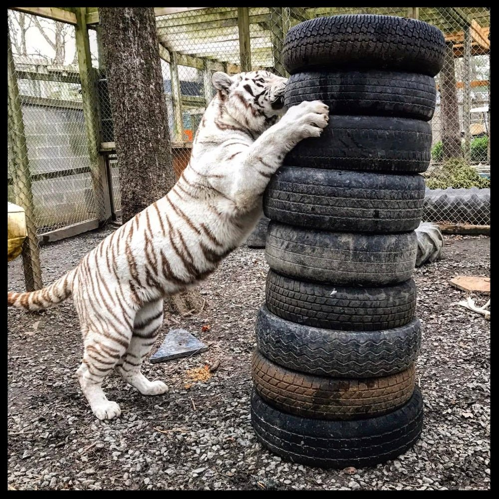 Alexis, a white Bengal tiger, tackles a stack of tires.