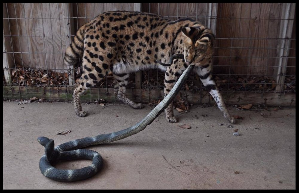 Tex, a serval, attacks a rubber snake during a supervised enrichment time.