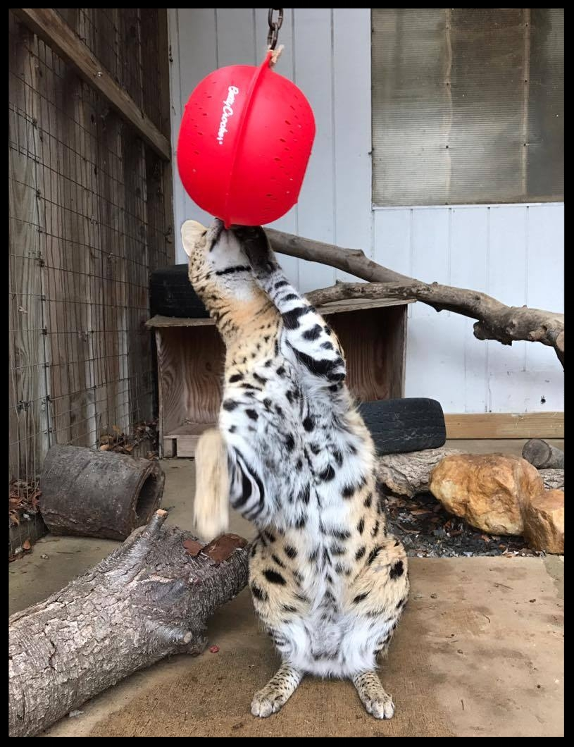 Tex, a serval, begins to figure out the colander feeder.