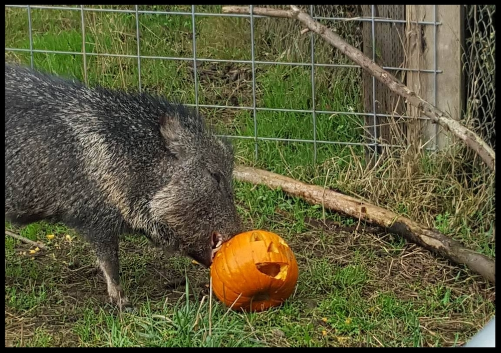 A Chacoan Peccary with a fall-themed jack-o-lantern enrichment item at the Sequoia Park Zoo. It'll be destroyed fairly quickly once introduced.   (Photo Credit: L. Miller)