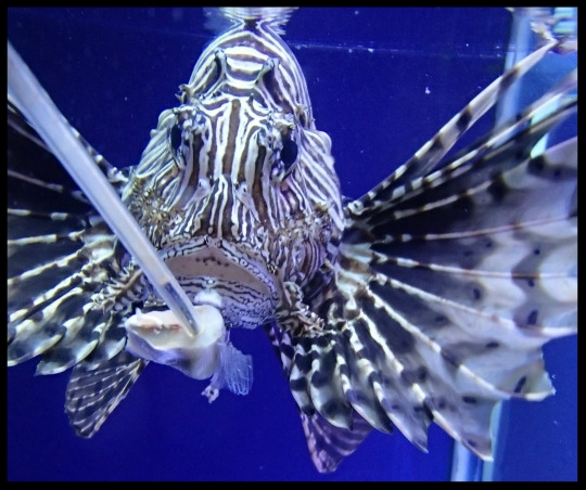 A lionfish at the Cameron Park Zoo targets to a pole bearing a chunk of fish.   Photo Credit: D. Estes