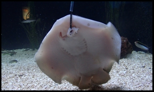 A stingray at the Cameron Park Zoo takes a piece of food off of a target pole.  Photo Credit: D. Estes